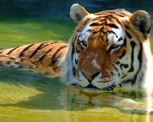 Amazingly Taken Tiger Picture
