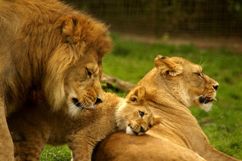 Lovely Lion Picture