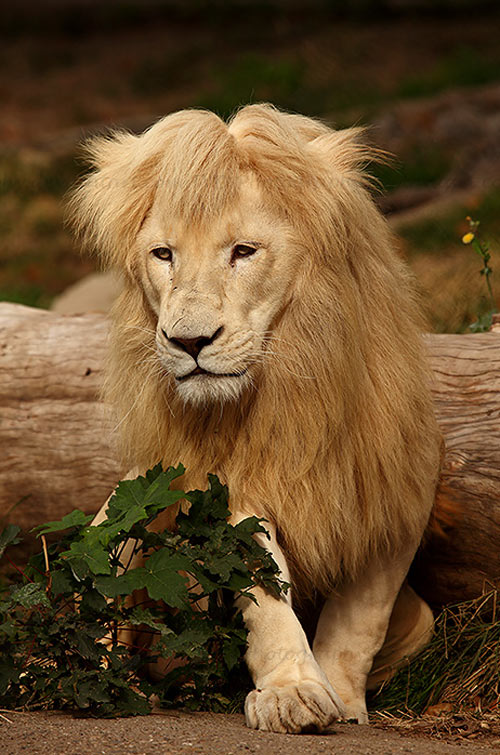Really Engaging Lion Picture