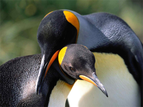 Whispering Sweet Nothings, King Penguins