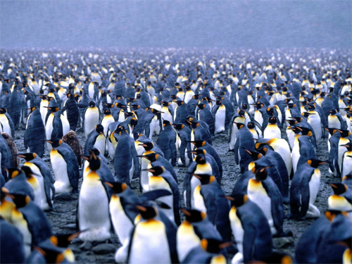 Multiplicity, King Penguins