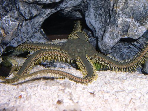 Spider Starfish