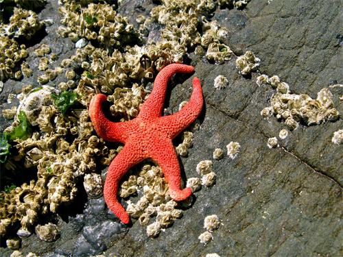 Sundried Starfish