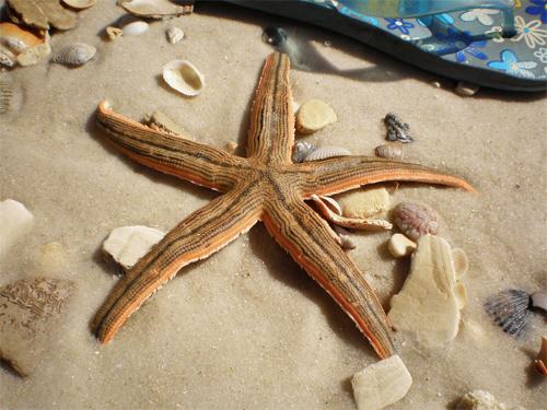 Starfish Panama City Beach