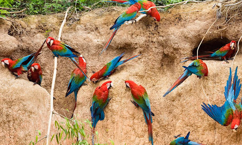 Group of Parrot Wallpaper