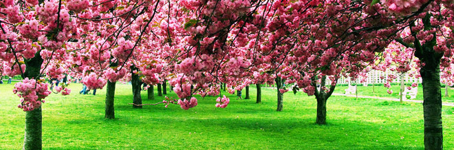 30 Astonishing Cherry Blossom Pictures