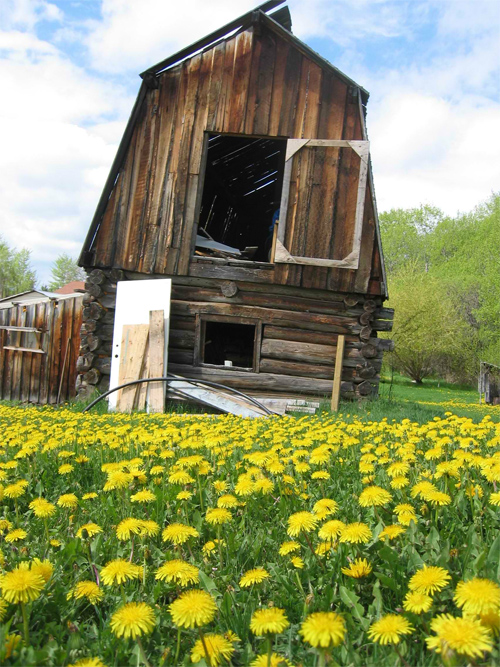 Dandelion and Barn