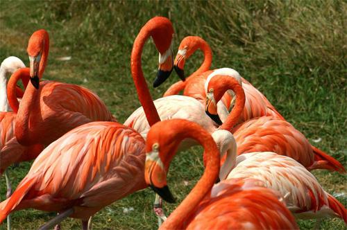flamingos_6817