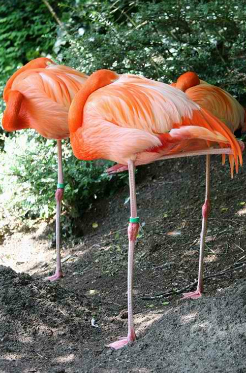 Flamingo Graces