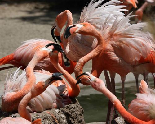 Flamingo Gossip