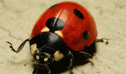 Ladybug Attack Fullframe