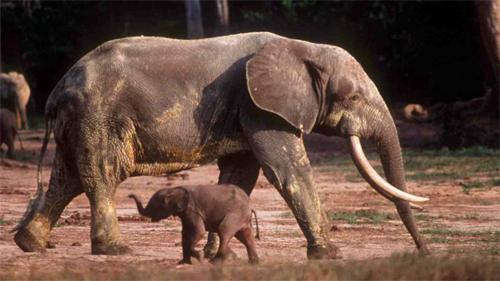 Elephant with Cub