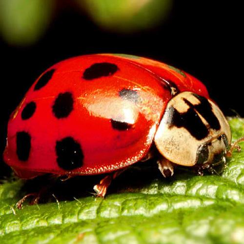 Ladybug Ladybird