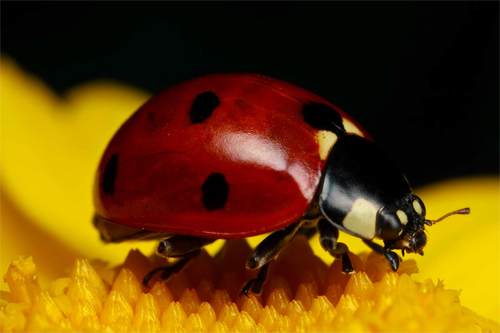 Ladybug on Yellow III