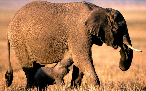 Elephant Desktop Background
