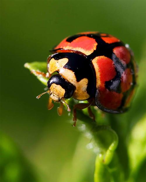 Minty Ladybug