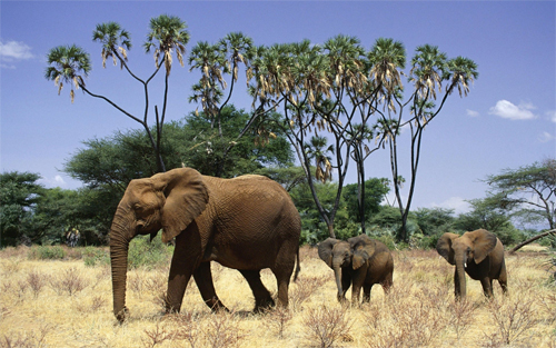 Elephants and Cubs Wallpapers