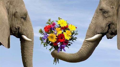 Funny elephant marry me Wallpaper