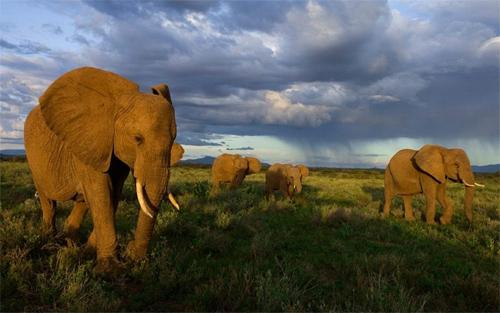 Elephants wallpapers