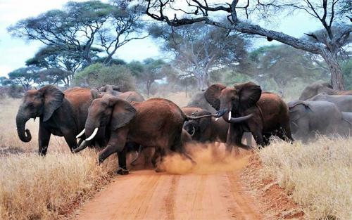 Herd of Elephants Crossing a Road
