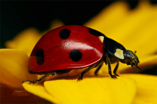 Ladybug on Yellow