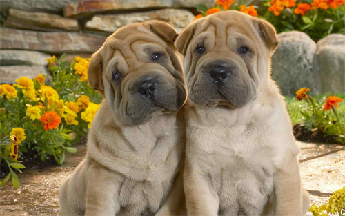 Twin Dogs Wallpaper