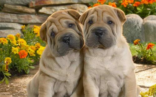 Twin Dogs Wallpaper