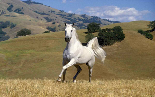 white stallion galloping Wallpaper