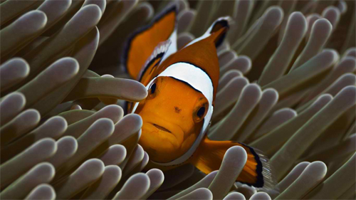 clownfish in reef wallpaper
