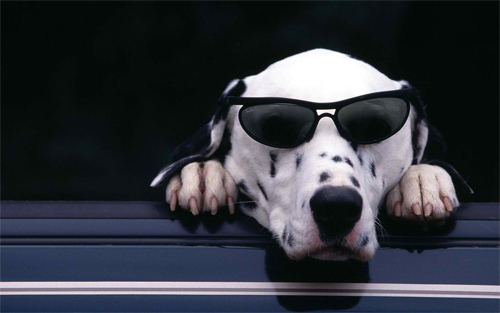 Cool Dog wearing glasses Wallpaper