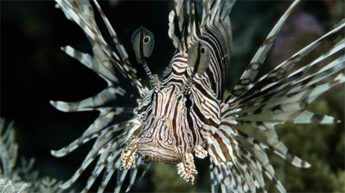 Lionfish wallpaper