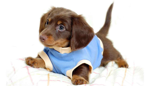 Dressed cute dog wallpaper