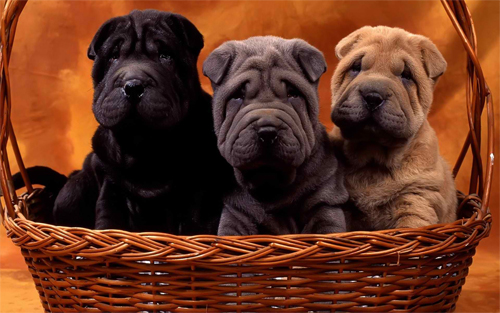 Cute sharpei dogs Wallpaper