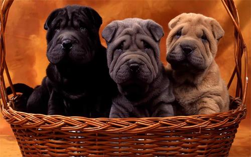 Cute sharpei dogs Wallpaper