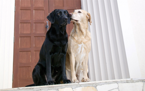 Dogs Couple wallpapers