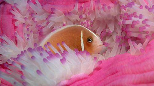 Fish and pink coral wallpaper