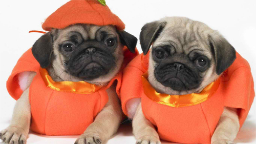 Scary Halloween Pugs wallpaper