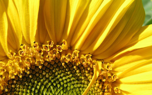Sunflower Macro wallpapers