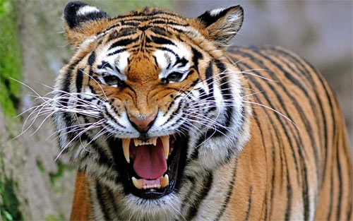 35 Ferocious Tiger Wallpaper For Your Desktop Naldz Graphics