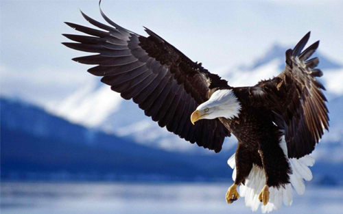 Eagle Flying High_86718 Wallpaper