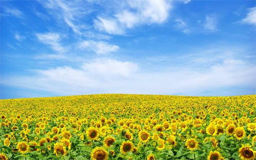 Sunflower field_47503 Wallpaper