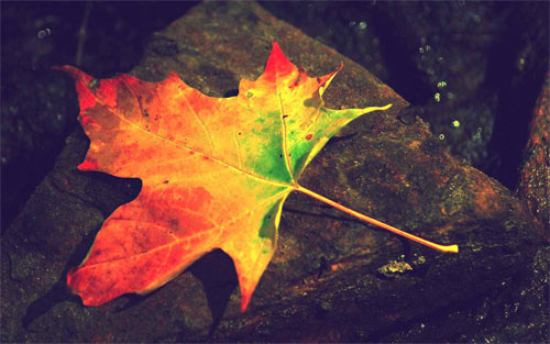 autumn leaf_16490 Wallpaper
