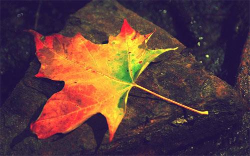 autumn leaf_16490 Wallpaper