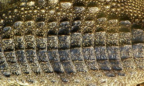 Croc hide 2