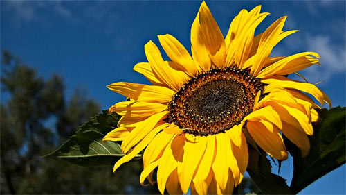 Sunny Sunflower wallpaper