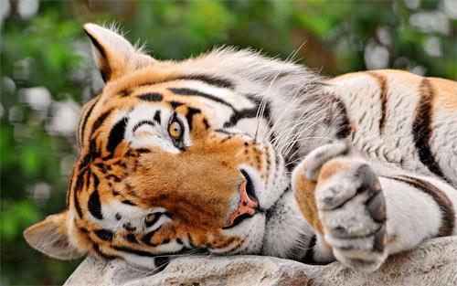 Lying Tiger_29105 Wallpaper