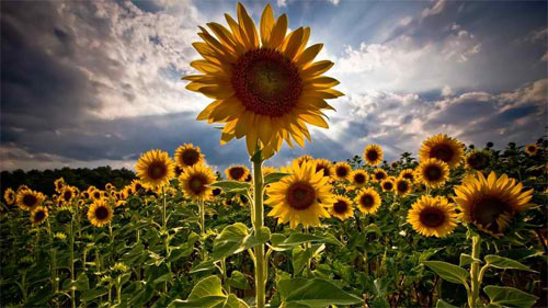 30 Brilliantly Colored Sunflower Wallpaper