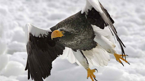 Stellers-Sea-Eagle wallpaper