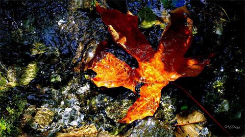 The Floating Leaf wallpaper