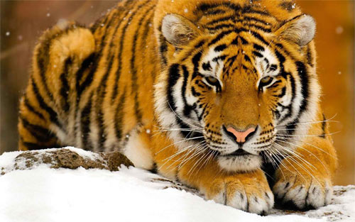 Powerful tiger HD_38207 Wallpaper